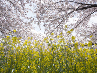 愛知県 五条川・菜の花と桜