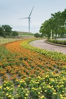 滋賀県 マリーゴルド花壇と風車