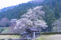福井県 一乗谷朝倉氏遺跡の唐門と桜