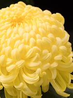 菊の花 花びら