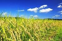 千葉県 佐倉市 収穫期を迎えた稲