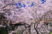 長野県 タカトオコヒガンザクラ咲く高遠城址公園桜雲橋