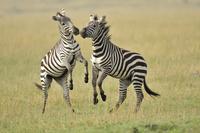 ケニア マサイマラ国立保護区 シマウマ