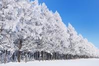 北海道 帯広市 霧氷のカラマツ林
