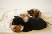 重なって寝る子猫