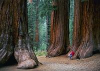 セコイア杉 ヨセミテ国立公園
