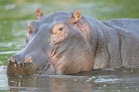 ボツワナ モレミ野生動物保護区 河馬