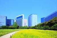 東京都 中央区 浜離宮恩賜庭園 菜の花と汐留シオサイトのビル群