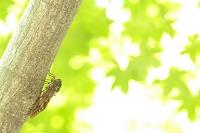 昆虫 アブラゼミ