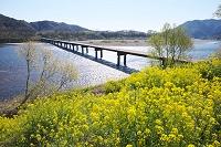 高知県 佐田沈下橋と四万十川と菜の花