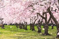 青森県 平滝沼公園の桜並木