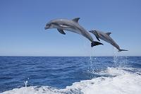 ハンドウイルカのジャンプ