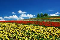 北海道 マリーゴールド咲く丘