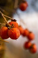 奈良県 五條市 柿
