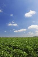 新潟県 枝豆畑