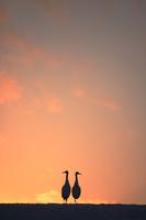 北海道 夕日の丘とタンチョウ
