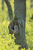 巣穴のエゾフクロウ