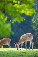 新緑の奈良公園 飛火野