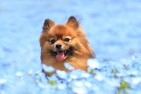 茨城県 ひたち海浜公園 ポメラニアンとネモフィラの花畑