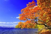 北海道 湖畔の紅葉鮮やかな一本の楓