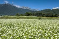 長野県 そば畑と北アルプス