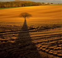 夕陽に伸びる柏の木影