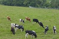 山梨県 八ヶ岳牧場の牛