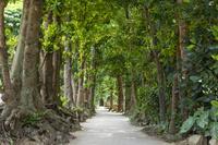 沖縄県 備瀬のフクギ並木道