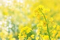 朝露輝く菜の花