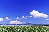 北海道 花咲くジャガイモ畑の丘