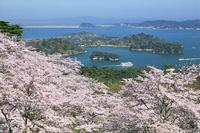 宮城県 西行戻し松公園の桜と松島