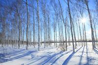 北海道 白樺と木陰