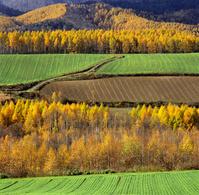 麦の新緑とカラマツ, 黄葉