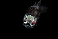深海魚 ハダカイワシ