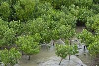 淡水のマングローブ