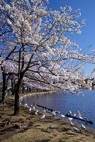 東京都 不忍池 桜とユリカモメ