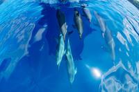 ボートの舳先を泳ぐハシナガイルカの群れ