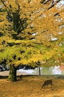 奈良県 奈良公園の鹿と紅葉