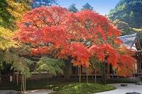 福岡県 糸島市 雷山千如寺大悲王院の大楓