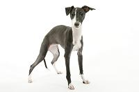 イタリアングレイハウンド 立つ犬