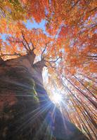 青森県 十和田市 八甲田山 紅葉のブナの巨木と木漏れ日