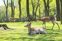 奈良県 奈良公園のシカ