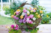 庭のバラとアルケミラモリスの花