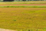 アメリカ クランベリー畑