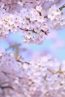 福島県 福島市 飯坂 桜の花