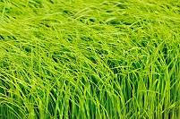 神奈川県 稲の苗床