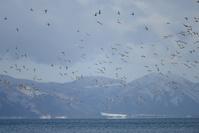 福島県 猪苗代湖 上空に現れたオジロワシに驚き飛び立つオナガ...