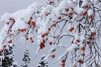 新潟県 雪に覆われる残り柿