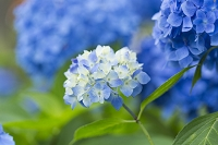 薄青色の紫陽花