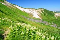 富山県 コバイケソウ咲く三俣蓮華岳